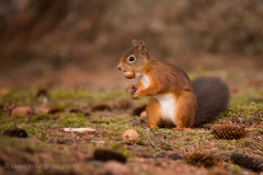 HighlandsOct2016_RedSquirrel_png_1400px_c_old-23