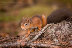 HighlandsOct2016_RedSquirrel_png_1400px_c_old-33
