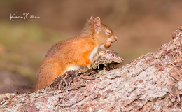 HighlandsOct2016_RedSquirrel_png_1400px_c_old-36