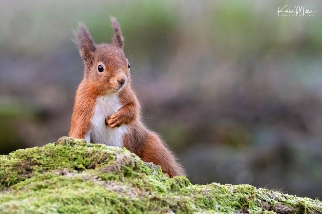 LochLeven_RedSquirrel_jpg_c-3250