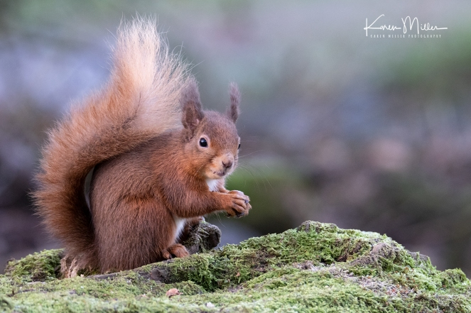 LochLeven_RedSquirrel_jpg_c-3309