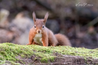 LochLeven_RedSquirrel_jpg_c-3502