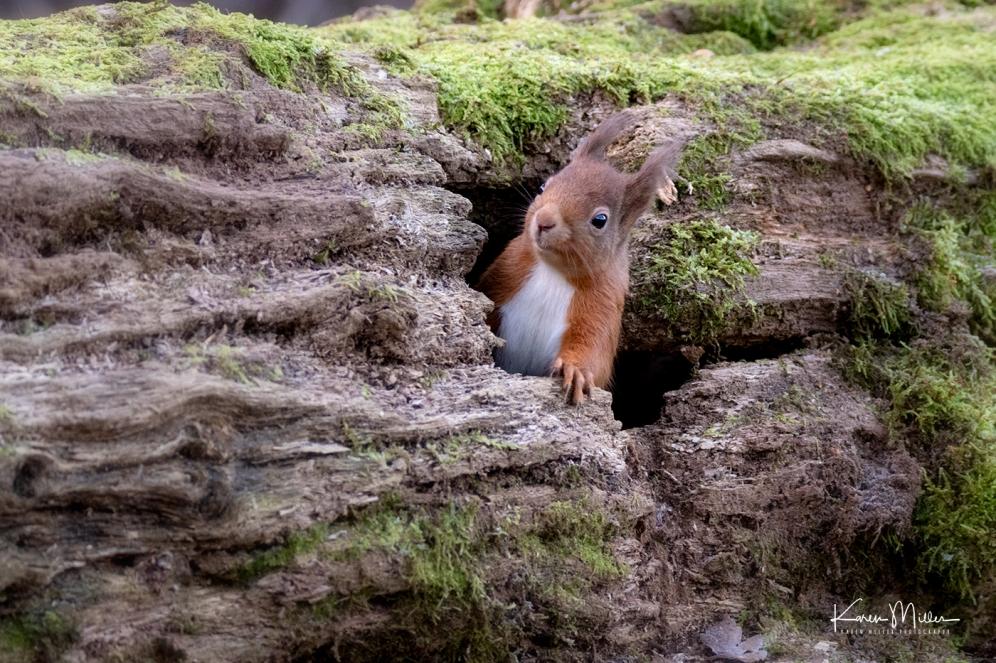 LochLeven_RedSquirrel_jpg_c-3745