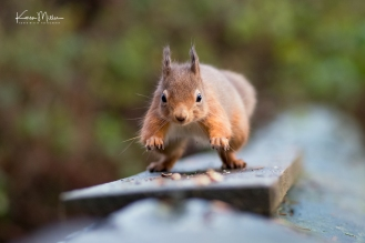 RedSquirrel_CarnieWoods-jpg_c_1362