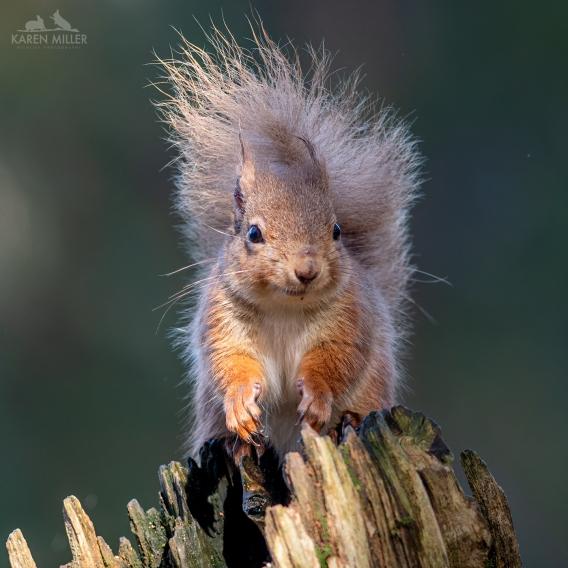 Alvie_Squirrel_18Mar2020-8509213
