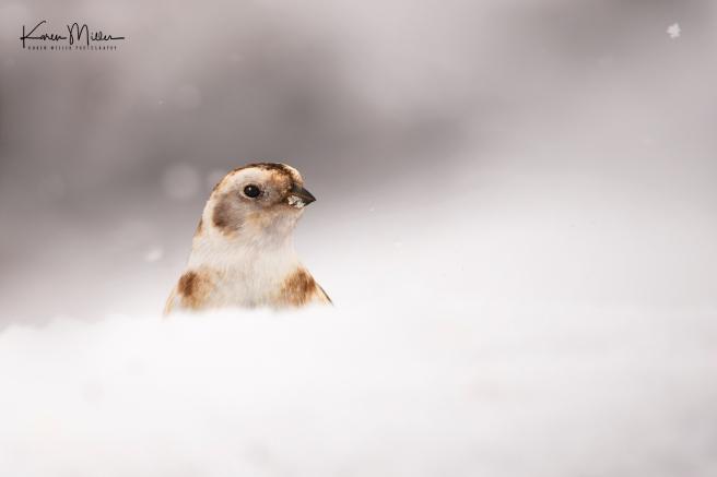 SnowBunting_16Mar-6538