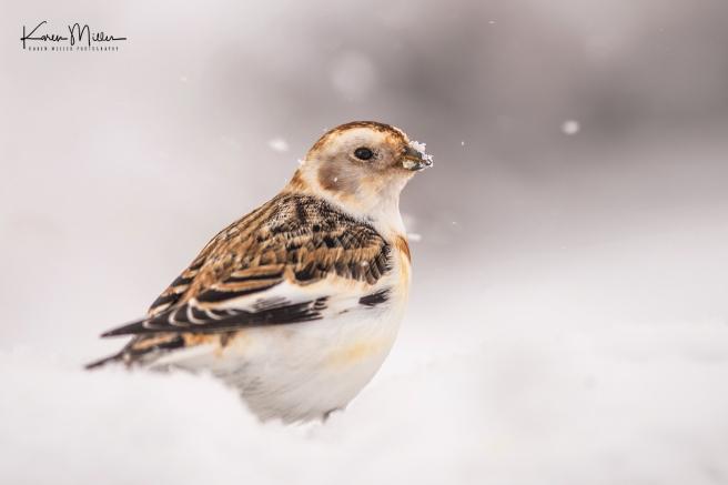 SnowBunting_16Mar-6560