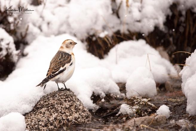 SnowBunting_16Mar-6580