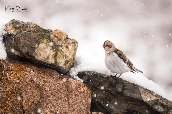 SnowBunting_16Mar-6603