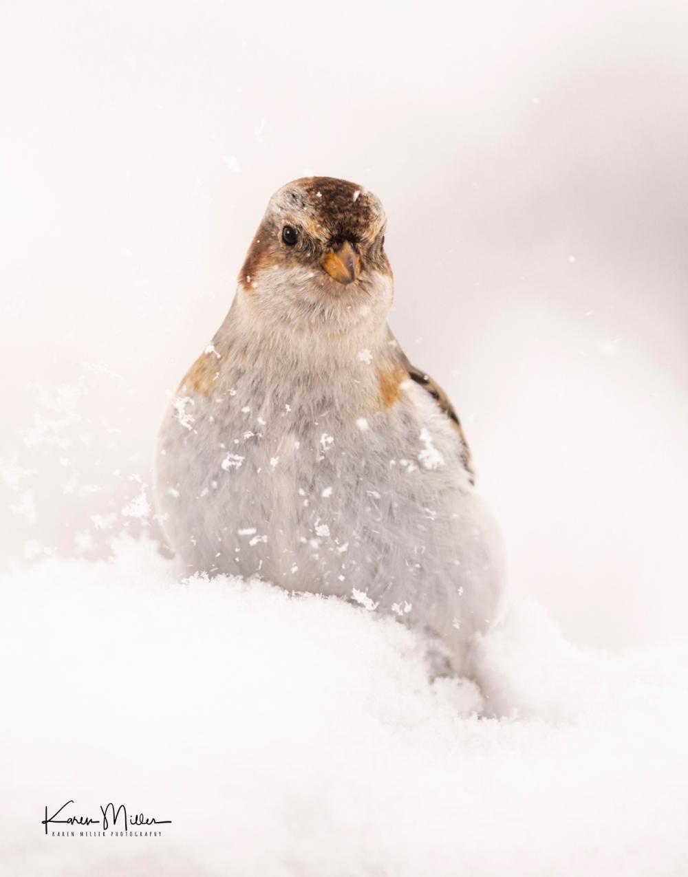 SnowBunting_16Mar-6702