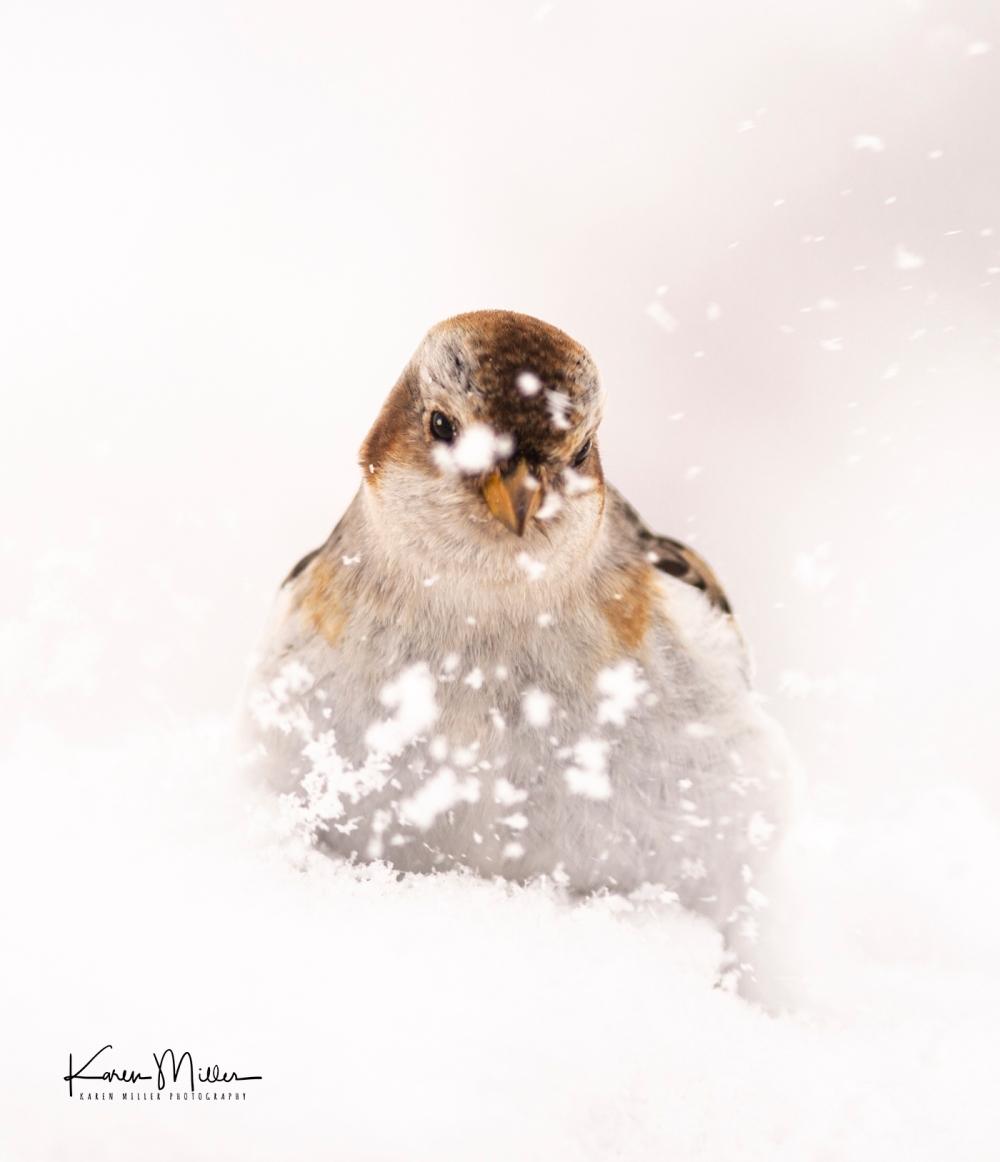 SnowBunting_16Mar-6703