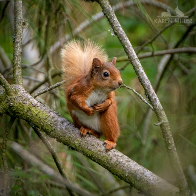 redsquirrel_ml-5323_sq