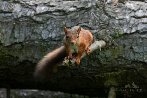 redsquirrel_ml-5342